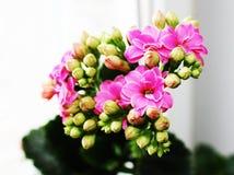 Het bloeien van de lente Stock Foto's