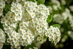 Het bloeien van de lentebloemen Spiraea in de stadstuin ukraine stock foto's