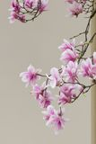 Het bloeien van de magnolia stock afbeelding