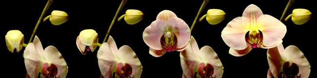 Het Bloeien van de orchidee Stock Afbeelding
