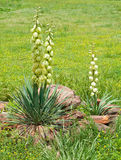 Het bloeien van de Yucca van vlaktes royalty-vrije stock foto