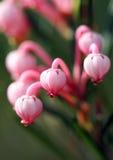 Het bloeien van een bosbes stock afbeeldingen