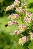 Het bloeien van een Gemeenschappelijke Paardekastanje Stock Fotografie