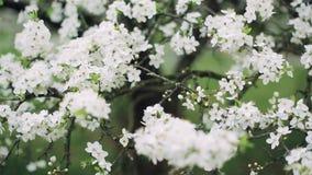 Het bloeien van een kersenboom in een tuin in de lente stock footage