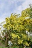 Het bloeien van een mimosaboom Stock Afbeeldingen