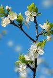 Het bloeien van kers in een tuin op een blauwe hemel als achtergrond stock foto's