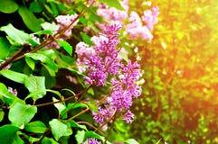 Het bloeien van lilac boom - close-up van heldere violette bloemen Stock Afbeelding