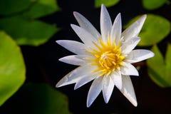 Het bloeien van Lotus Stock Foto