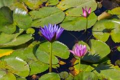 Het bloeien van lotusbloembloem Royalty-vrije Stock Afbeeldingen