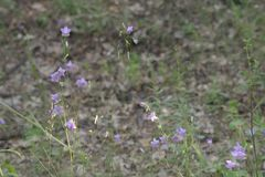 Het bloeien van perzik-leaved bellflower Nice bekervormig weinig royalty-vrije stock afbeelding