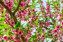 Het bloeien van roze bloemen van kersenbloesems royalty-vrije stock foto