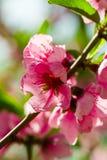 Het bloeien van roze bloemen van kersenbloesems royalty-vrije stock foto's
