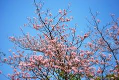 Het bloeien van tabebuia Stock Foto