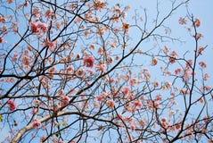 Het bloeien van tabebuia Stock Afbeeldingen