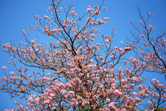 Het bloeien van tabebuia Stock Foto's