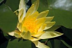 Het bloeien van waterlelie Stock Foto