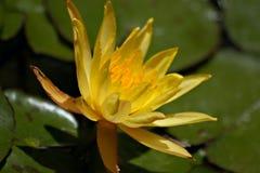 Het bloeien van waterlelie Royalty-vrije Stock Afbeeldingen