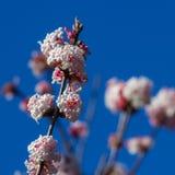Het bloeien Viburnum x bodnantense Royalty-vrije Stock Afbeeldingen