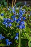 Het bloeien in vroege de lente blauw-blauwe bloemen van Siberisch bos stock afbeelding