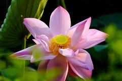 Het bloeien Waterlelie Stock Foto's