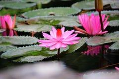 Het bloeien waterlelies Royalty-vrije Stock Foto