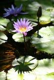 Het bloeien waterlelies Stock Foto's