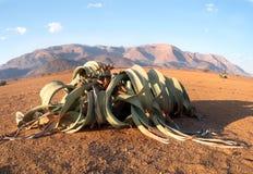 Het bloeien Welwitschia mirabilis in de woestijn van centraal Namibië stock foto's