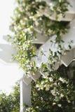 Het bloeien wijnbouw op latwerk. Royalty-vrije Stock Foto's