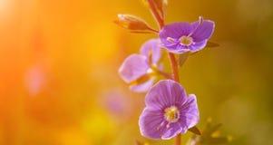 Het bloeien wildflowers in een weide Sluit omhoog blauwe het bloeien Cardamine pratensis tegen de vage natuurlijke achtergrond va royalty-vrije stock afbeelding