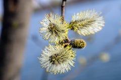 Het bloeien wilgenclose-up Stock Fotografie