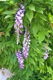 Het bloeien wisteria Royalty-vrije Stock Afbeelding