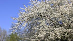 Het bloeien Wit Cherry Colorful Of Springtime royalty-vrije stock foto