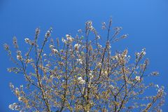 Het bloeien het Bloeien Witte Japanse Sakura And Young Leaf stock fotografie