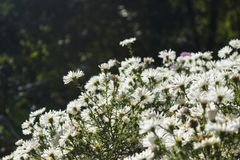 Het bloeien witte kamille Stock Foto