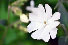 Het bloeien Witte Wildflower van Ontario Stock Afbeelding