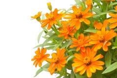 Het bloeien Zinnias stock afbeelding