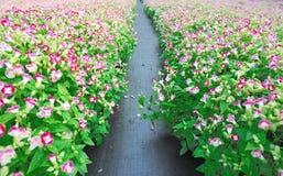 Het bloeiende gebied van het bloemkinderdagverblijf Stock Afbeelding