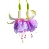 Het bloeiende mooie takje van lilac en witte fuchsiakleurig bloem is ISO Stock Afbeelding