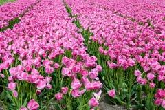 Het bloeiende purpere volledig-scherm van het tulpengebied Stock Afbeeldingen