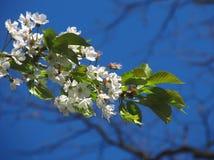 Het bloeiende takje van de kersenboom Stock Fotografie