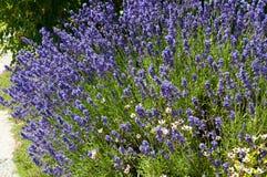 Het bloembed van de lavendel Royalty-vrije Stock Afbeeldingen