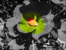 Het bloemblaadje ligt op blad selectieve kleur Royalty-vrije Stock Foto
