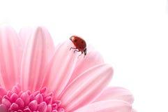 Het bloemblaadje van de bloem met dameinsect stock foto