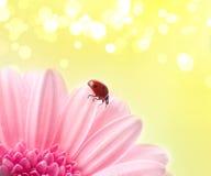 Het bloemblaadje van de bloem met dameinsect Stock Fotografie