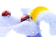 Het bloemblaadje van de bloem met lieveheersbeestje royalty-vrije stock foto