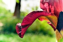 Het bloemblaadje van de Gingersnapiris. Royalty-vrije Stock Foto's
