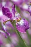 Het Bloemblaadje van de iris Stock Afbeelding