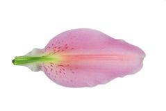 Het bloemblaadje van de lelie Royalty-vrije Stock Foto