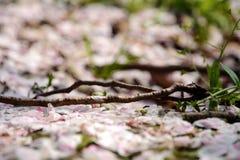 Het bloemblaadje van de perziktak en grasland Royalty-vrije Stock Afbeelding