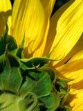 Het bloemblaadje van de zonnebloem Stock Afbeeldingen